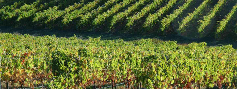 Adelaide vineyard (badjonnie)