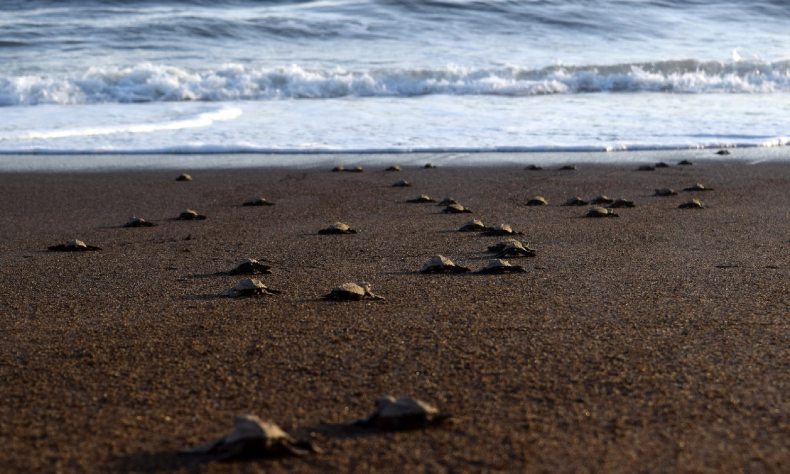 Turtles heading to the sea, Costa Rica (Dreamtime)