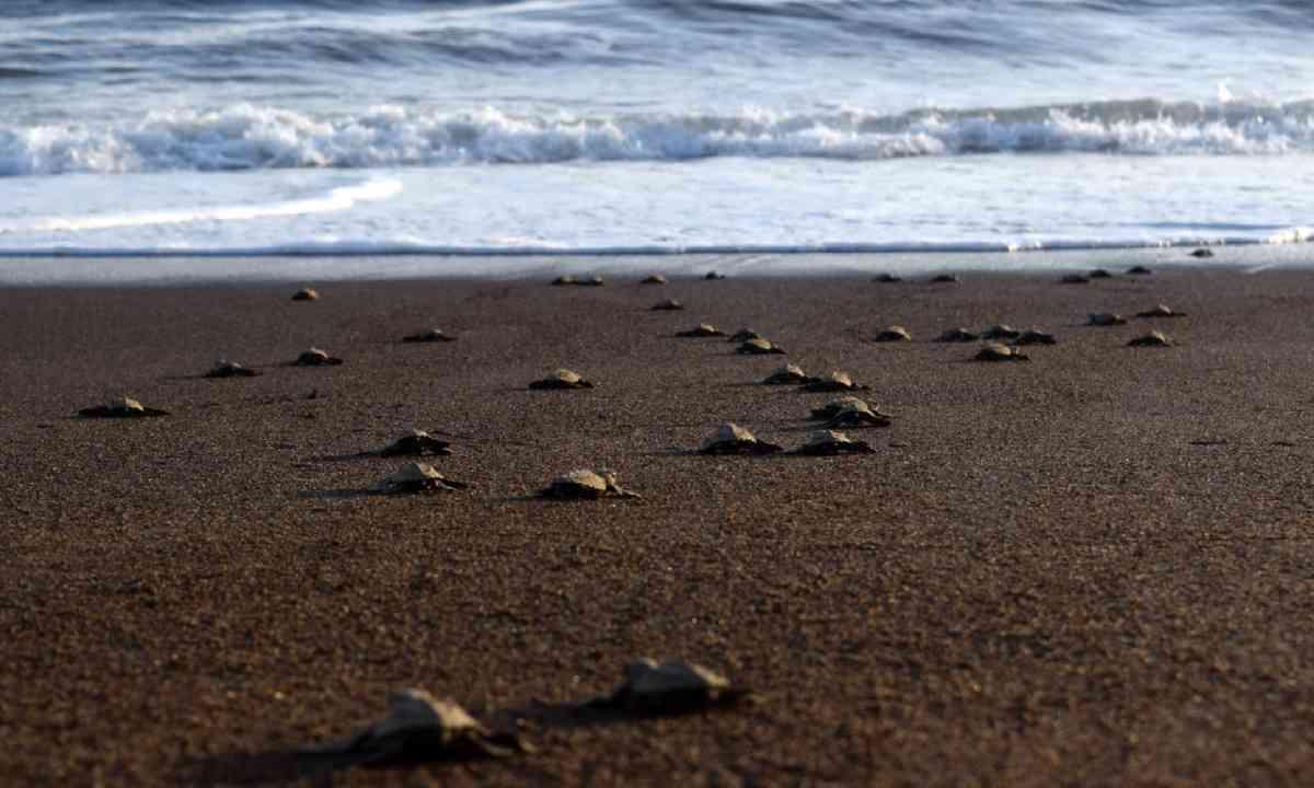 Turtles heading to the sea, Costa Rica (Dreamtime)