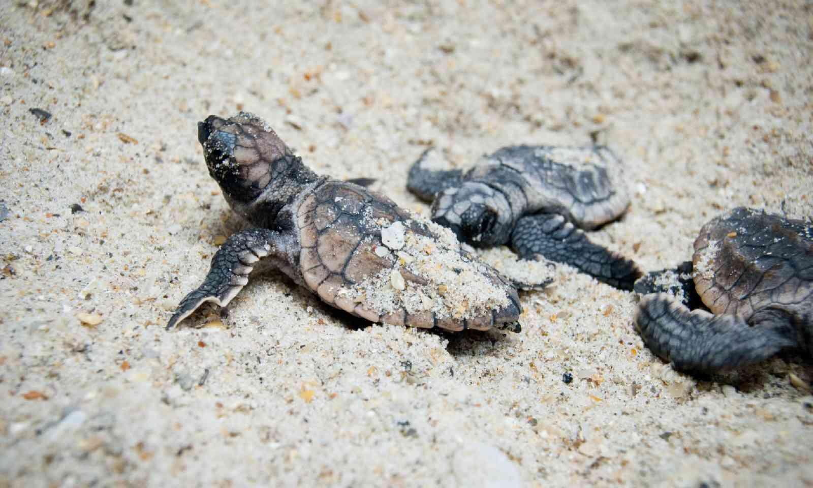 Sea turtle hatchling, Costa Rica (Shutterstock)