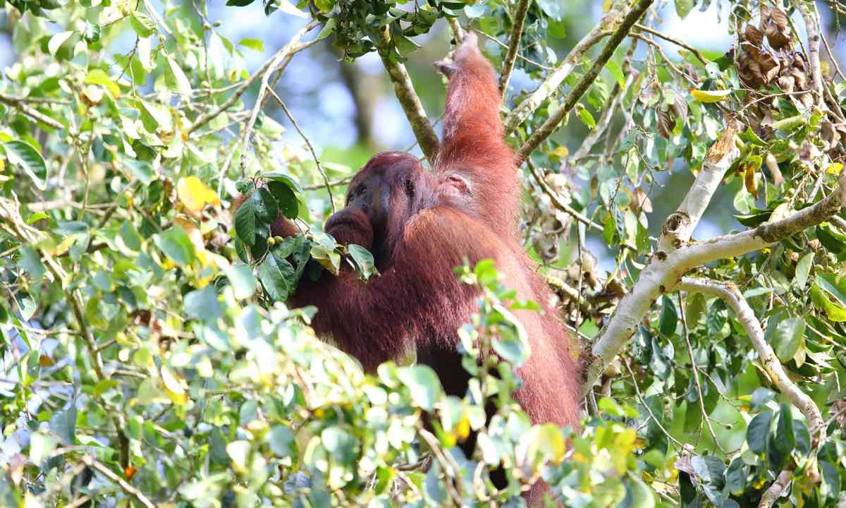 Orangutan foraging in the Danum Valley (Dreamstime)