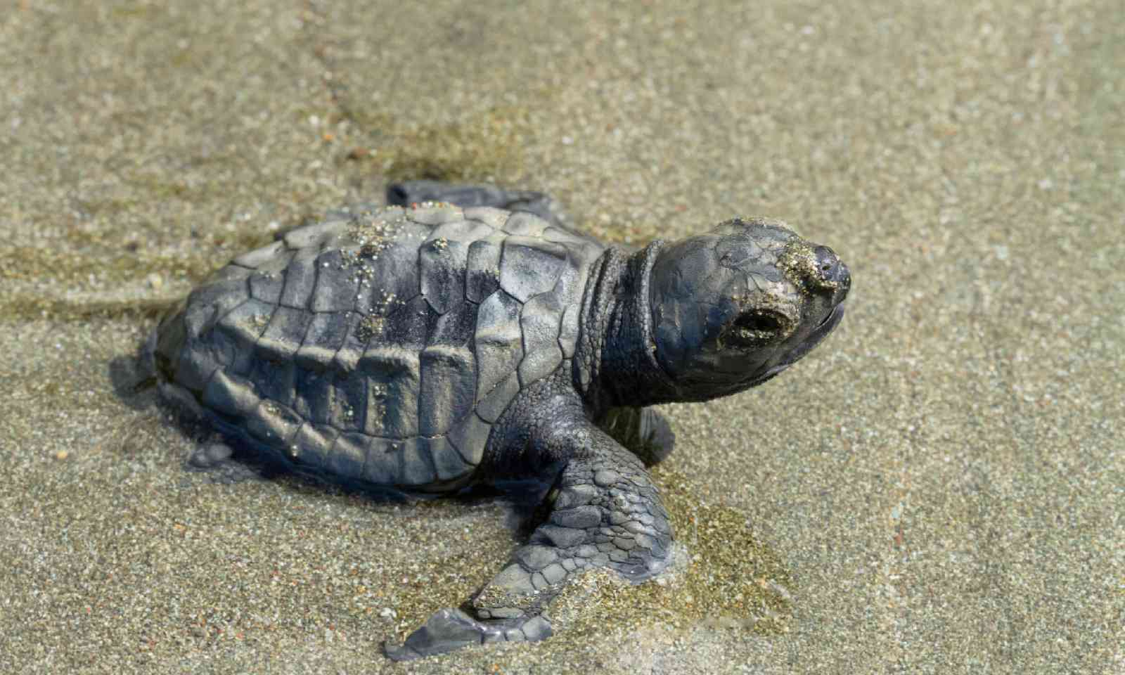 Olive ridley turtle (Shutterstock)