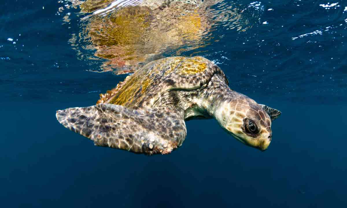 Olive ridley turtle swimming (Shutterstock)