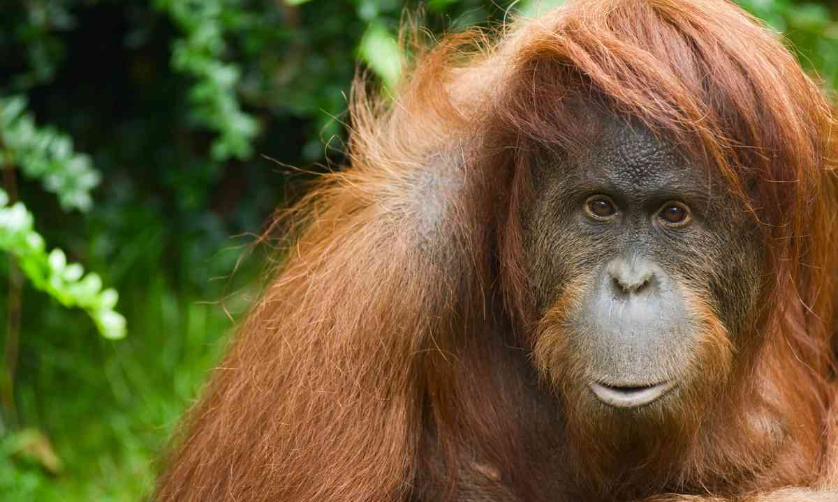 Sumatran orangutan (Dreamstime)