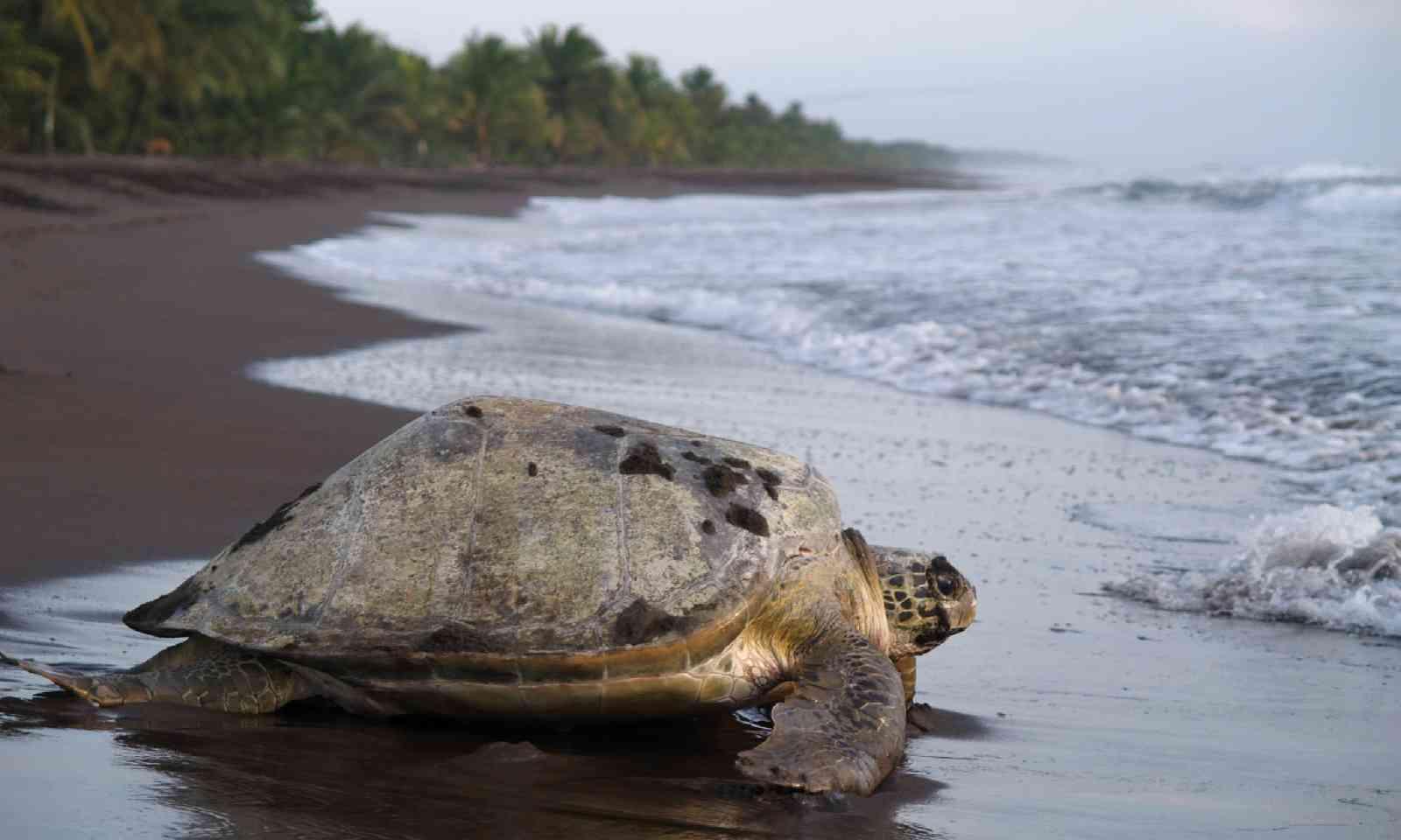 Adult sea turtle, Costa Rica (Shutterstock)
