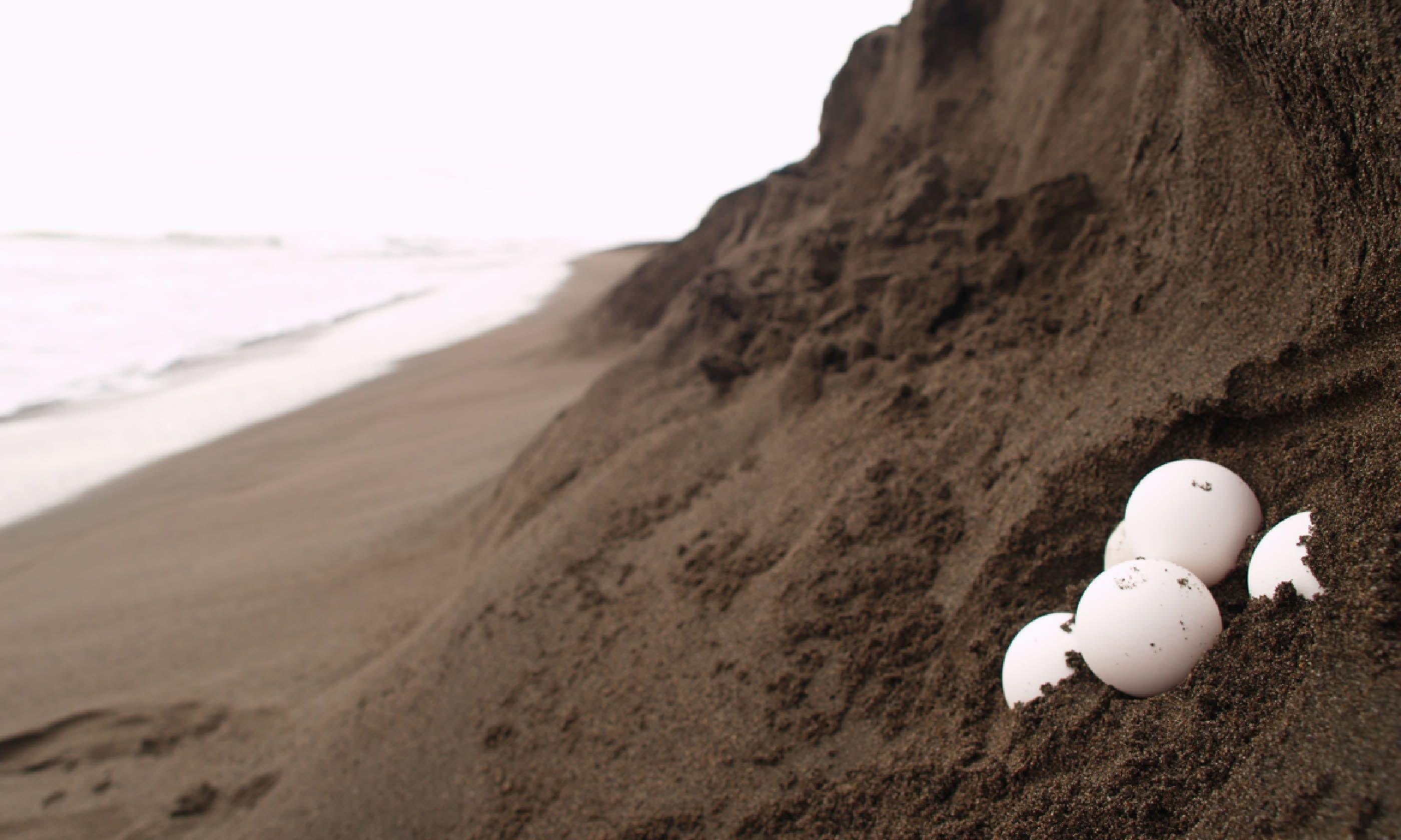Sea turtle eggs, Costa Rica (Shutterstock)