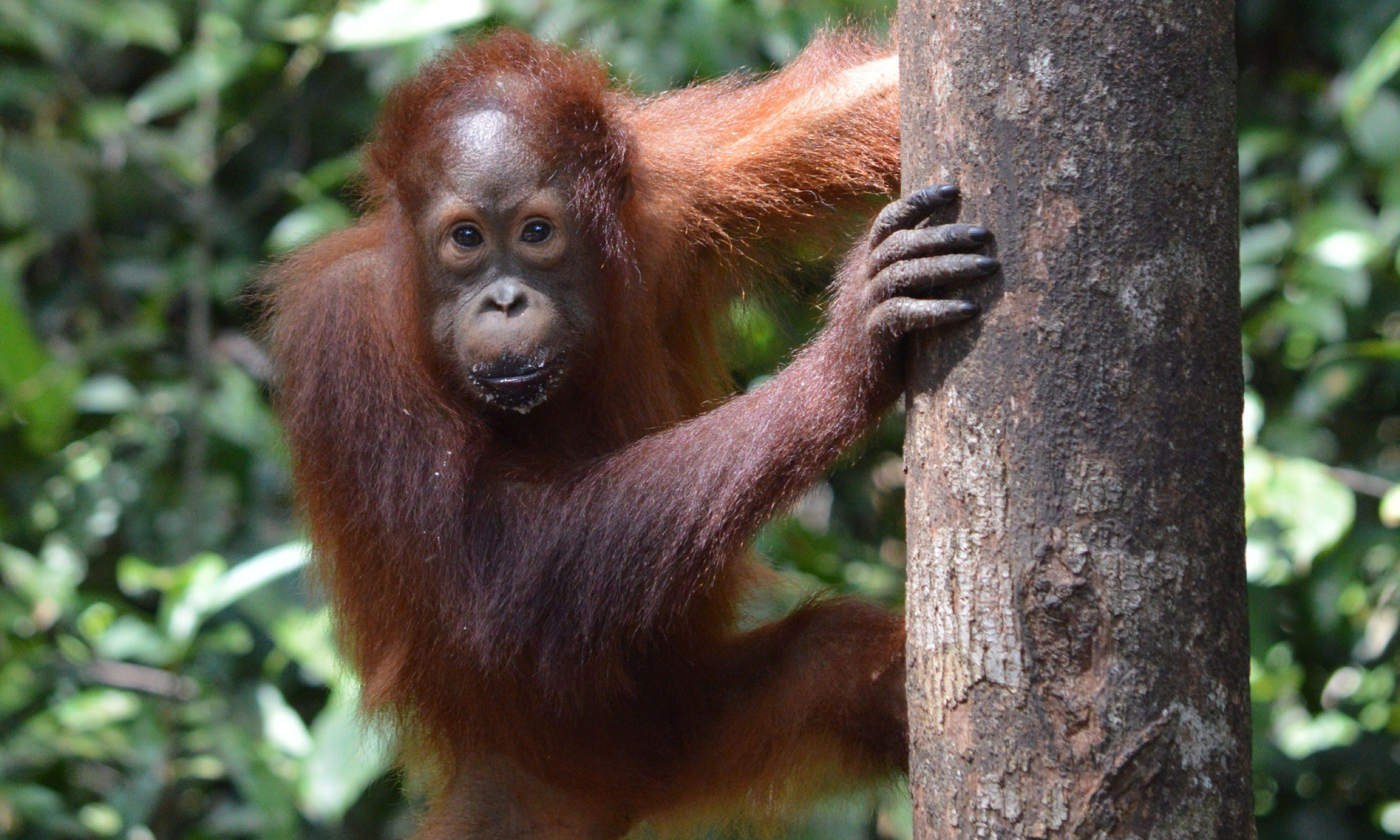 Young orangutan in Tanjung Putting National Park (Dreamstime)