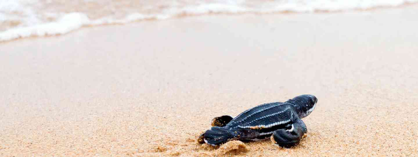 Sea turtle hatchling (Shutterstock)