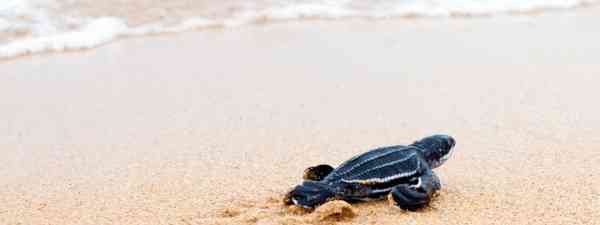 Sea turtle hatchling (Shutterstock)