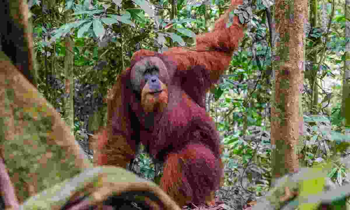 Wild orangutan in Gunung Leuser National Park (Dreamstime)