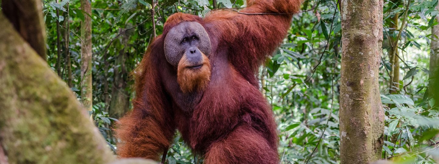 5 best places to see orangutans in the wild wanderlust
