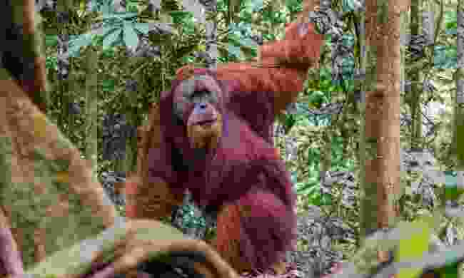 Wild orangutan in Gunung Leuser National Park (Dreamstime)