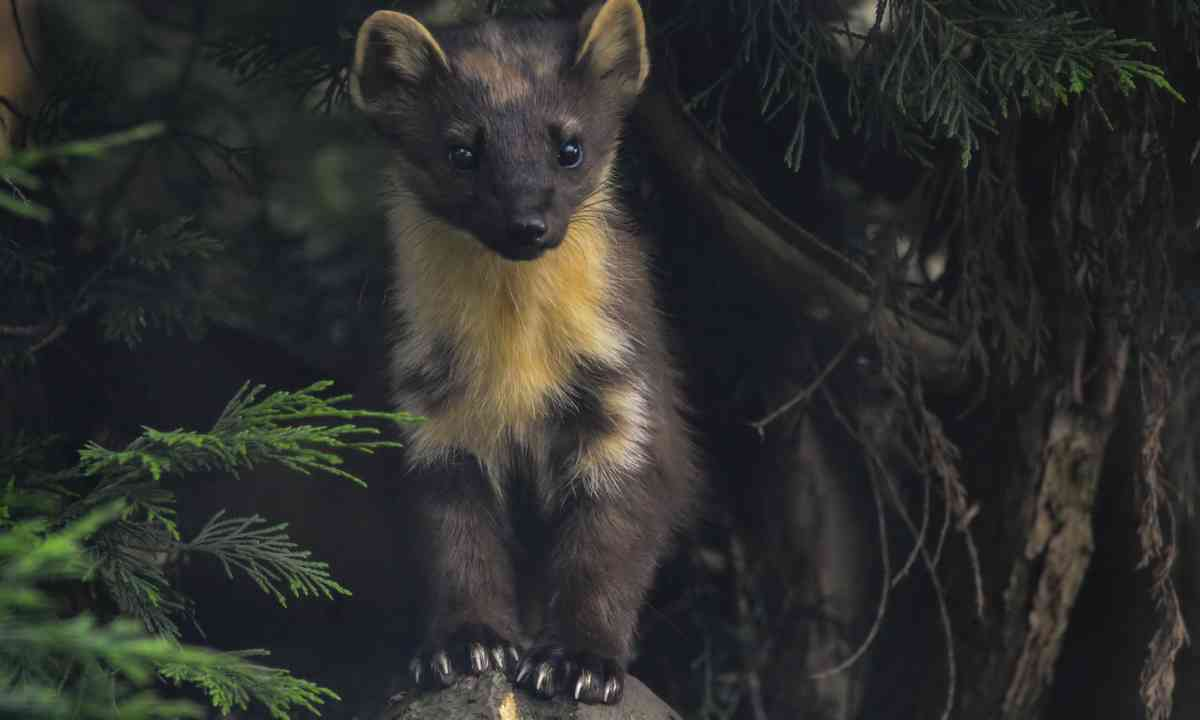 Pine Martin in the Cairngorms (Dreamstime)