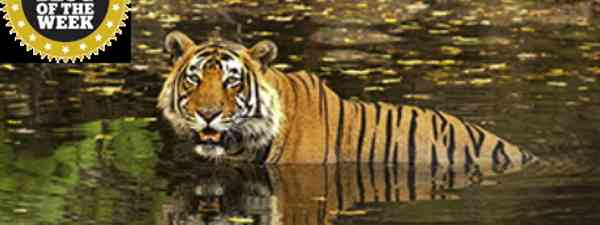 Ranthambore Tiger (Bill Gent)