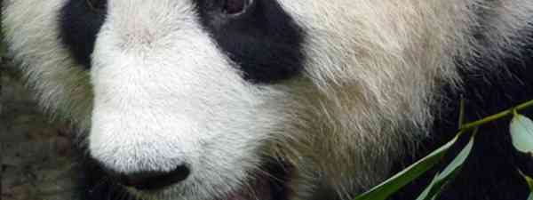 Panda (Marie Javins)