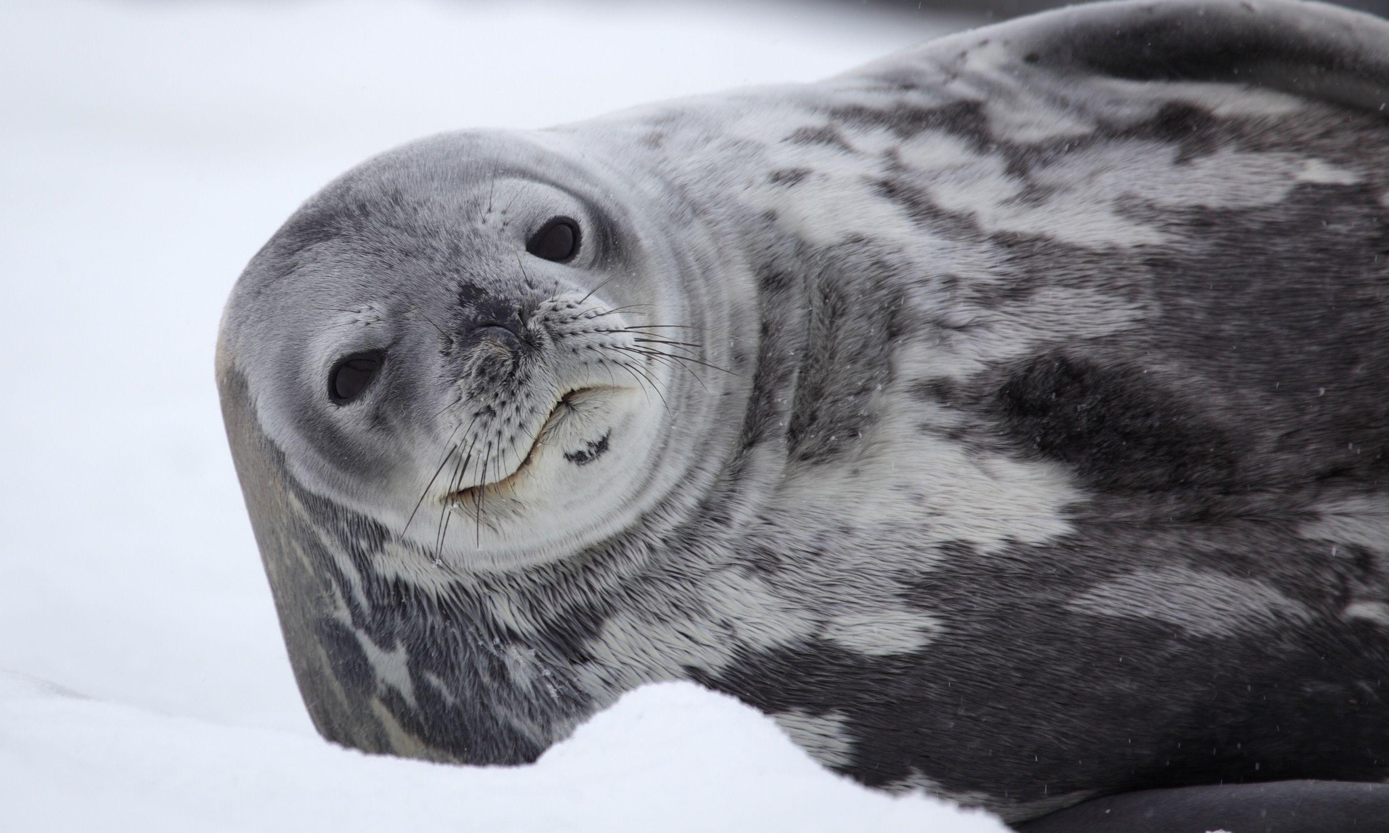 Weddell Seal in Antarctica (Dreamstime)