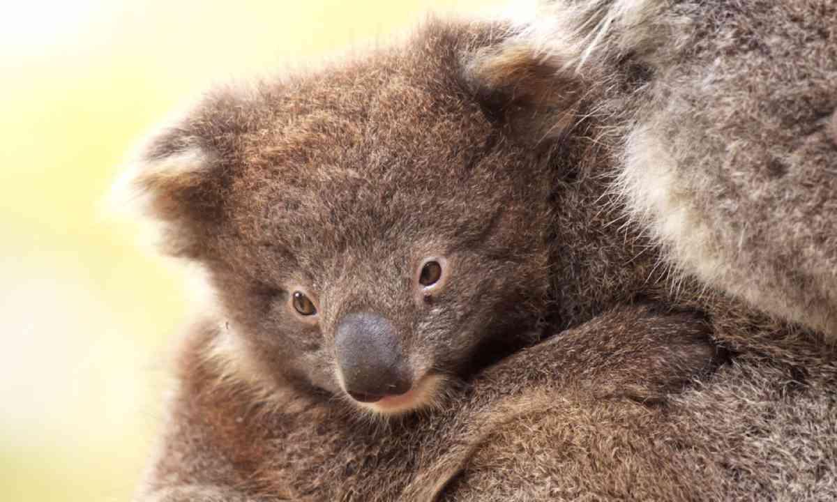 Baby Koala on Mother's Back - Kangaroo Island (Shutterstock)