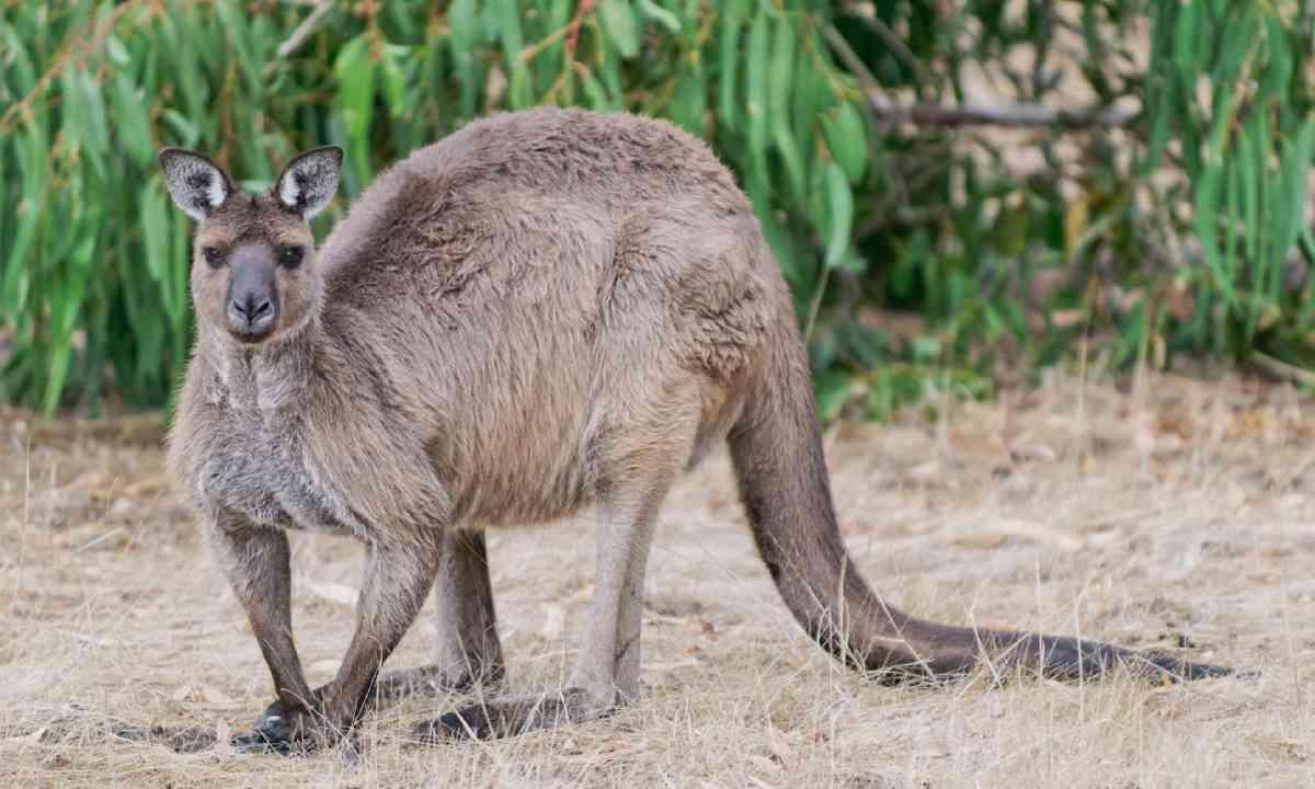 Kangaroo on guard in Hanson Bay on Kangaroo Island (Shutterstock)