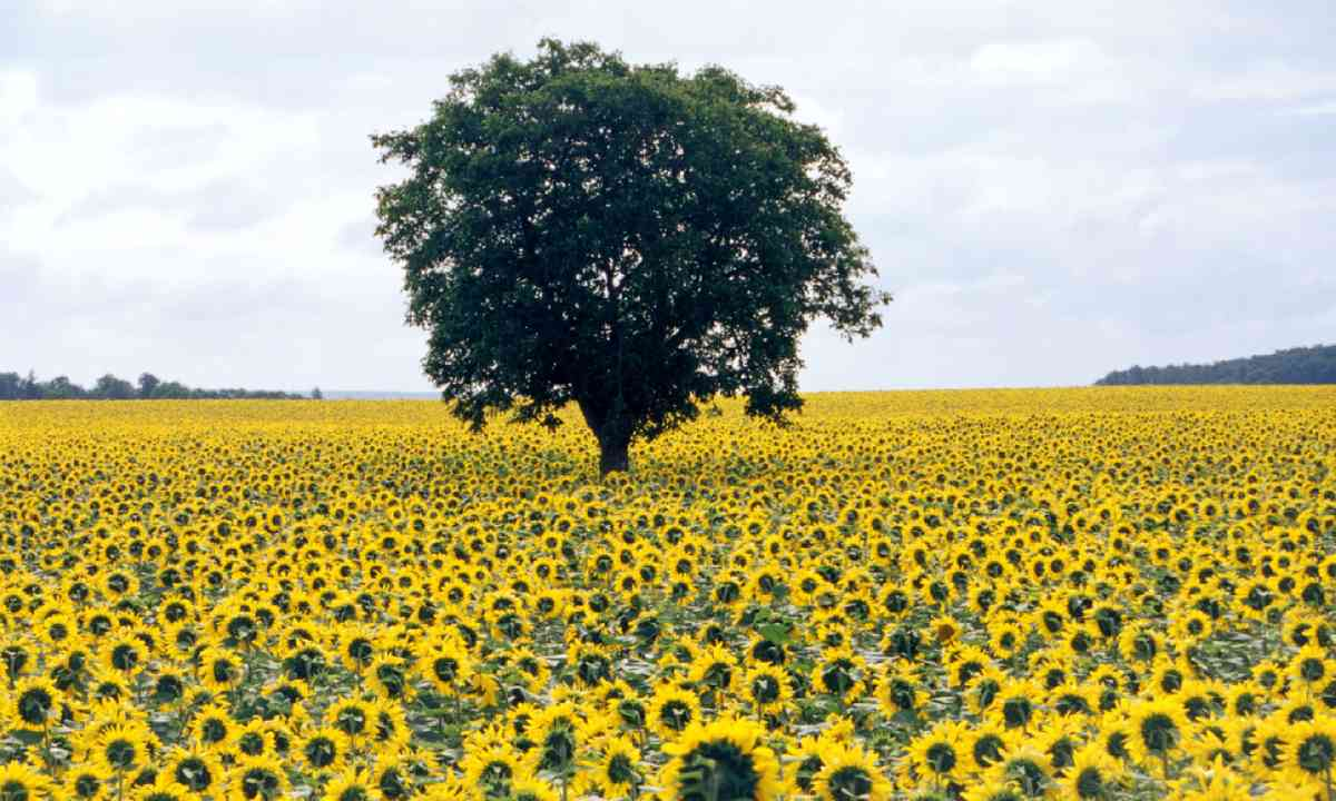 Sunflowers in the Loire region (Shutterstock)