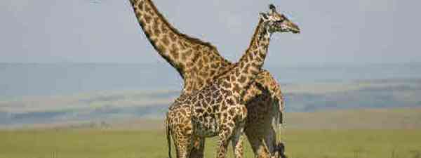 Giraffes in the Masai Mara (flickr: Paul Mannix)