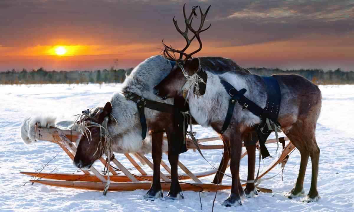 Reindeer in a harness (Shutterstock)