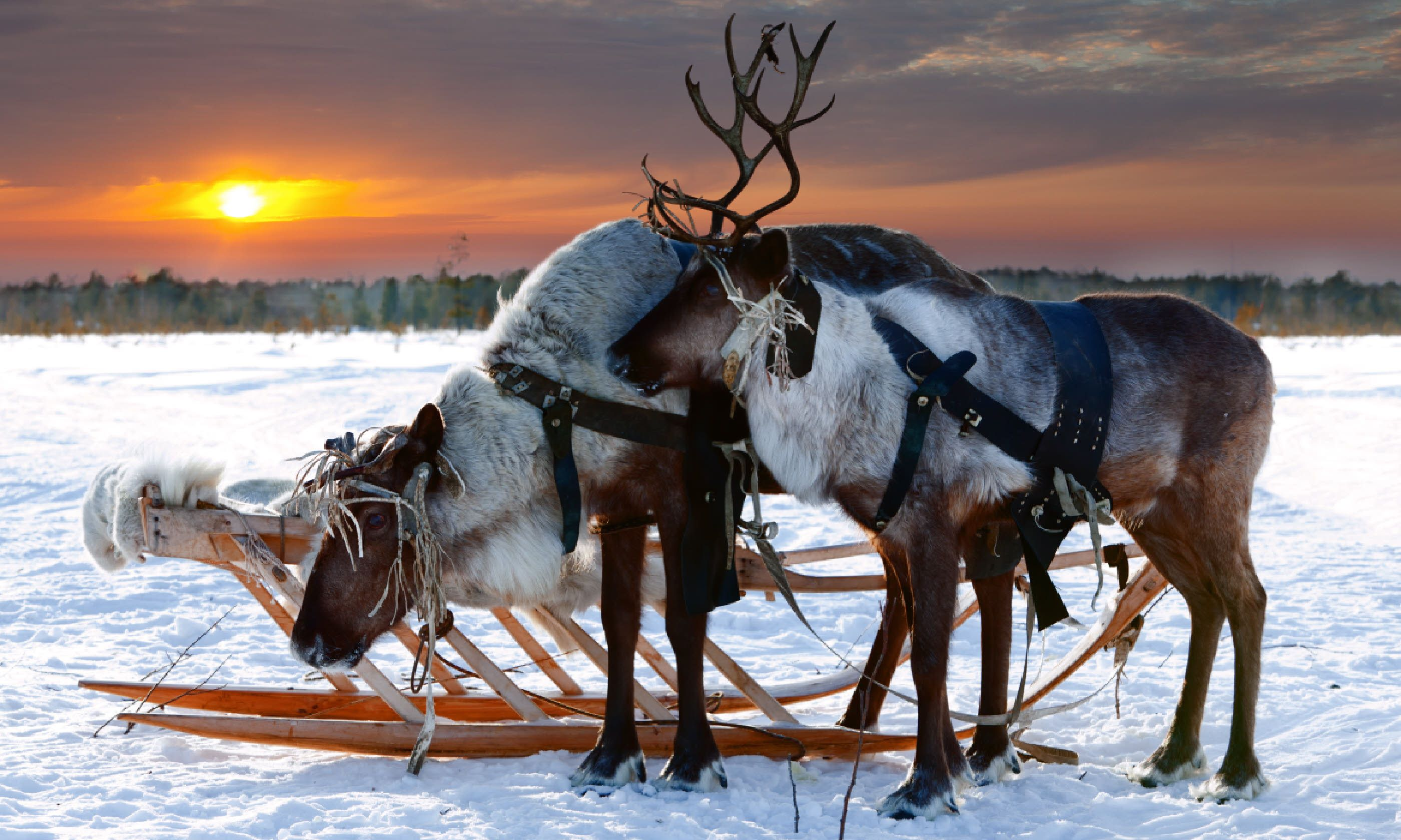 Reindeer in a harness (Shutterstock)