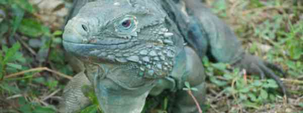 The Cayman Islands' blue iguana is making a comeback (Flickr: pmarkham)