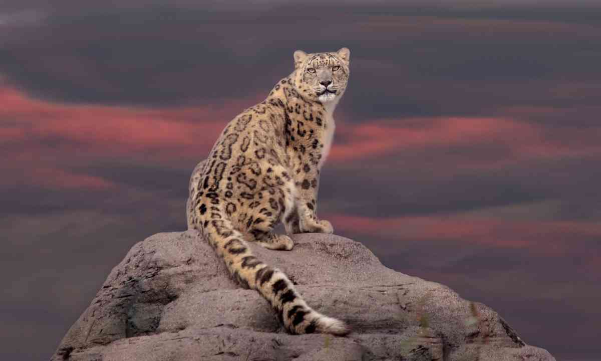 Snow Leopard on a peak (Dreamstime)