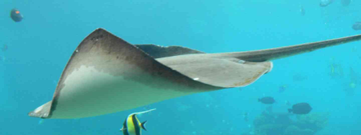 Sting ray (Flying Cloud)