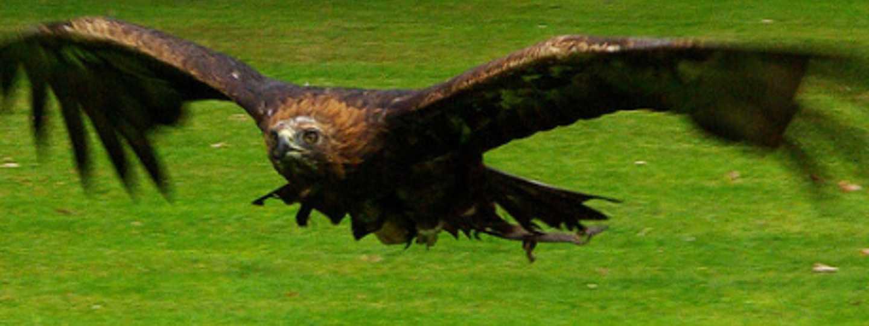 Golden eagle (jack_spellingbacon)