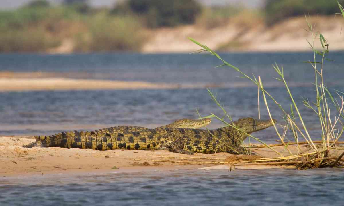 Young crocodiles resting next to the Zambezi River (Shutterstock)