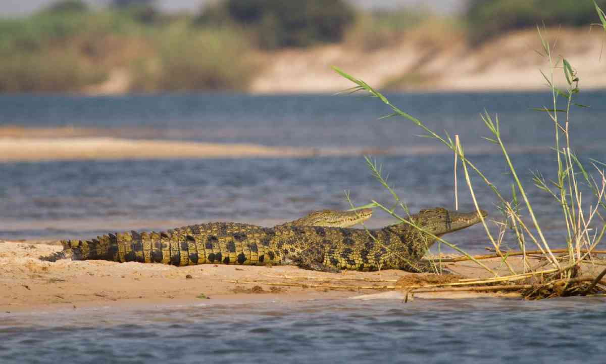 Young crocodiles resting next to the Zambezi River (Shutterstock)