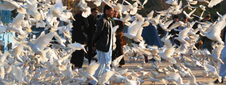 White doves in Afghanistan (Charlie Walker)