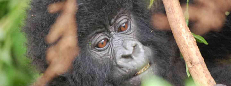Bwindi gorilla (Amy Scarth)