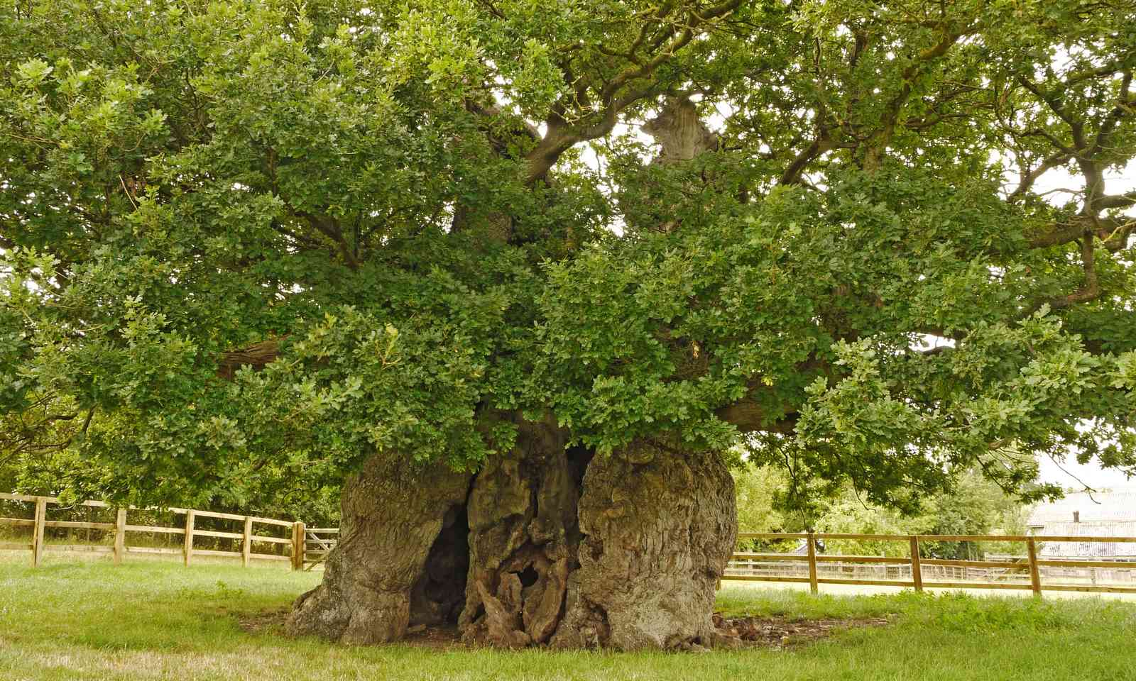 Bowthorpe Oak (Julian Hight)