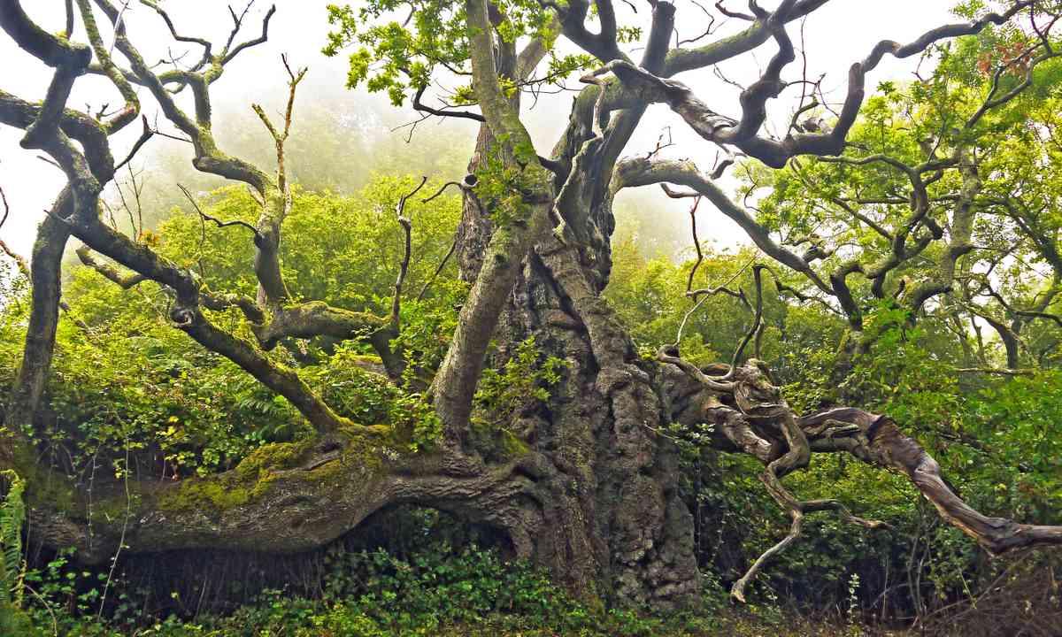 King John's Oak (Julian Hight)