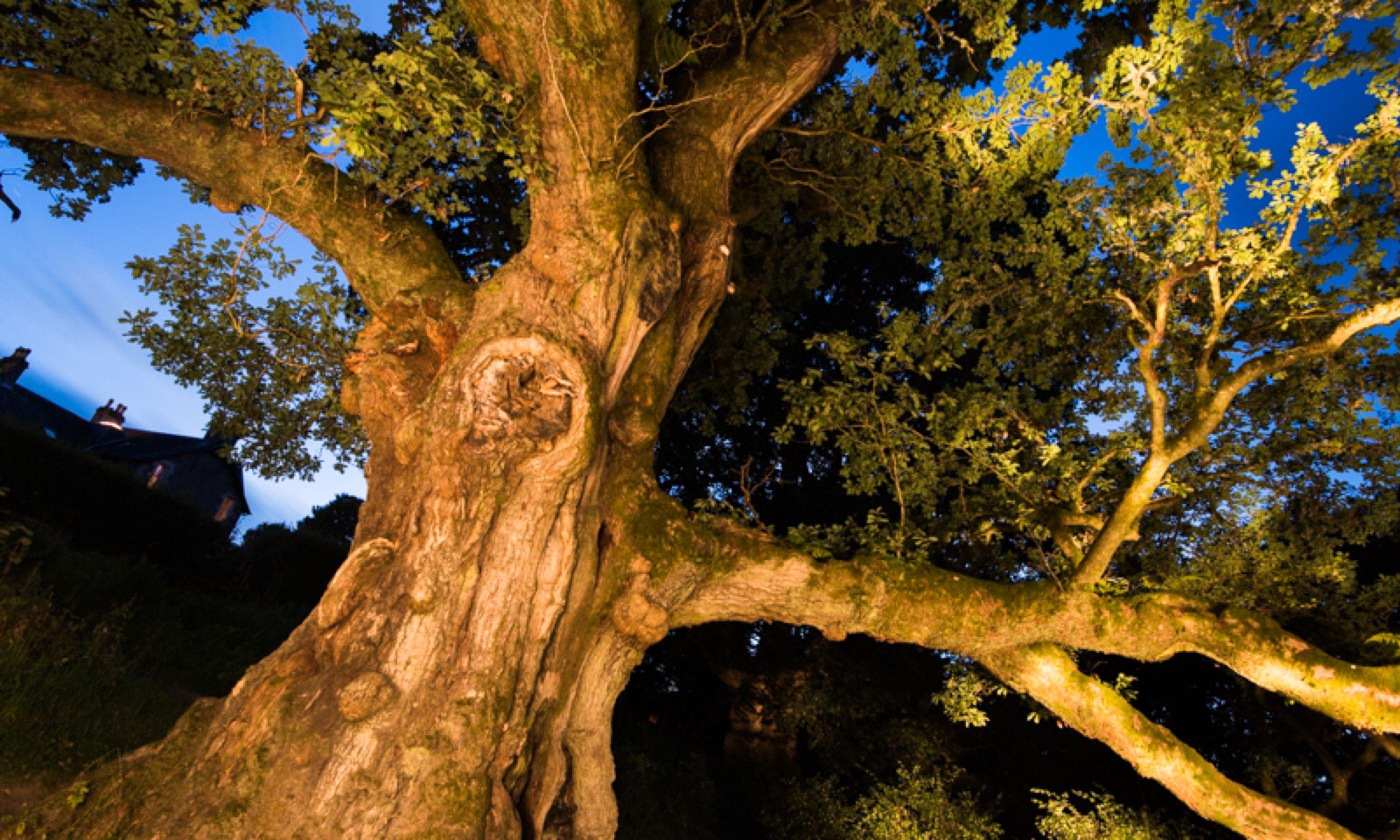 Birnam Oak (Niall Benvie)