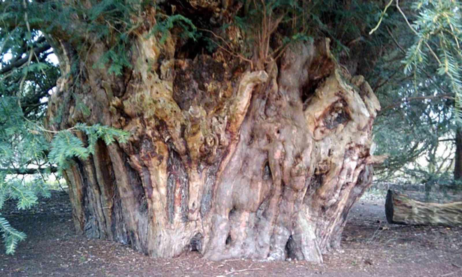 Brimmon Oak (Tracey Williams)