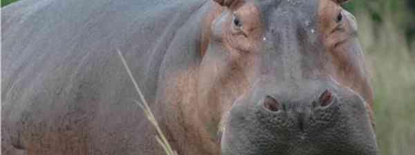 Hippo spotting in Matobo National Park, Zimbabwe (Scott Kinmartin)