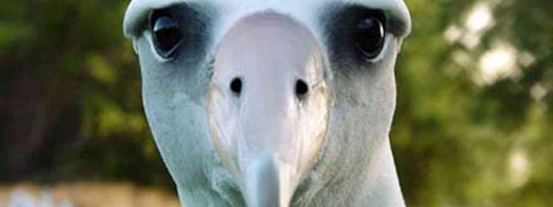 Albatros (Flickr)