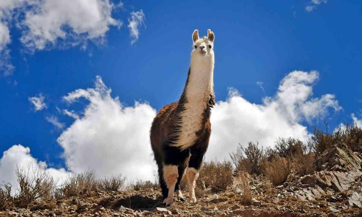 Vicuna in Salta Province. Argentina (Shutterstock)