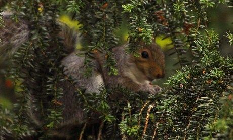 Welsh Wood squirrel