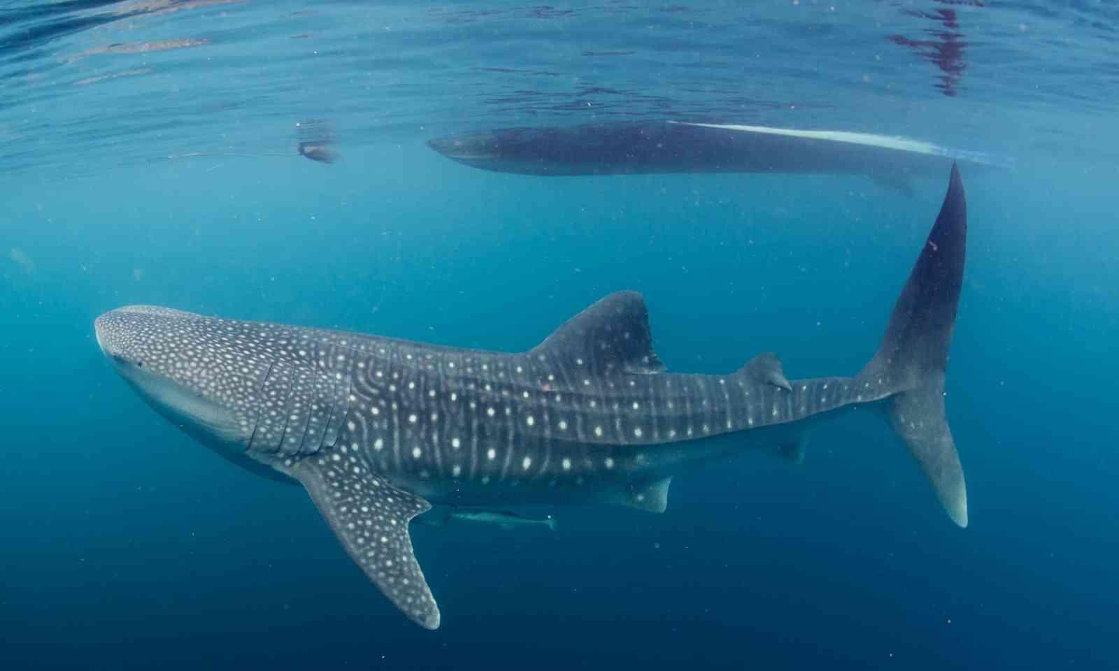 Whale shark under boat (Dreamstime)