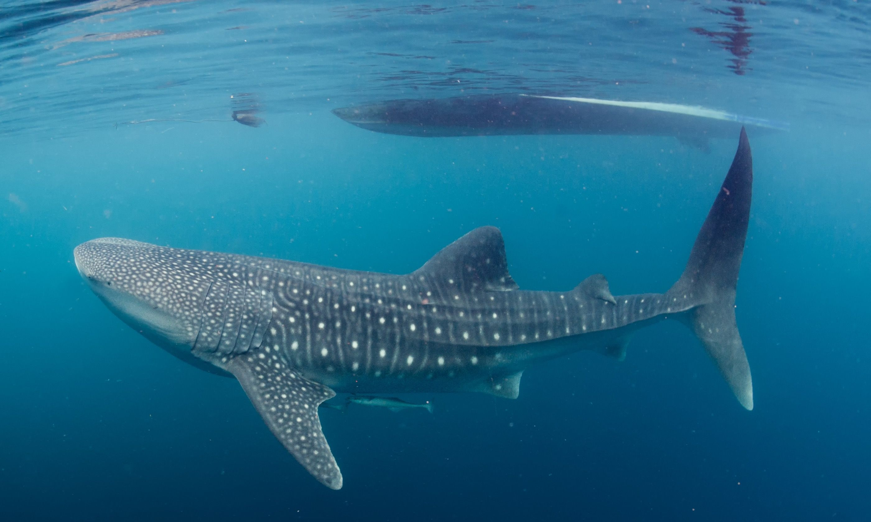 Whale shark under boat (Dreamstime)