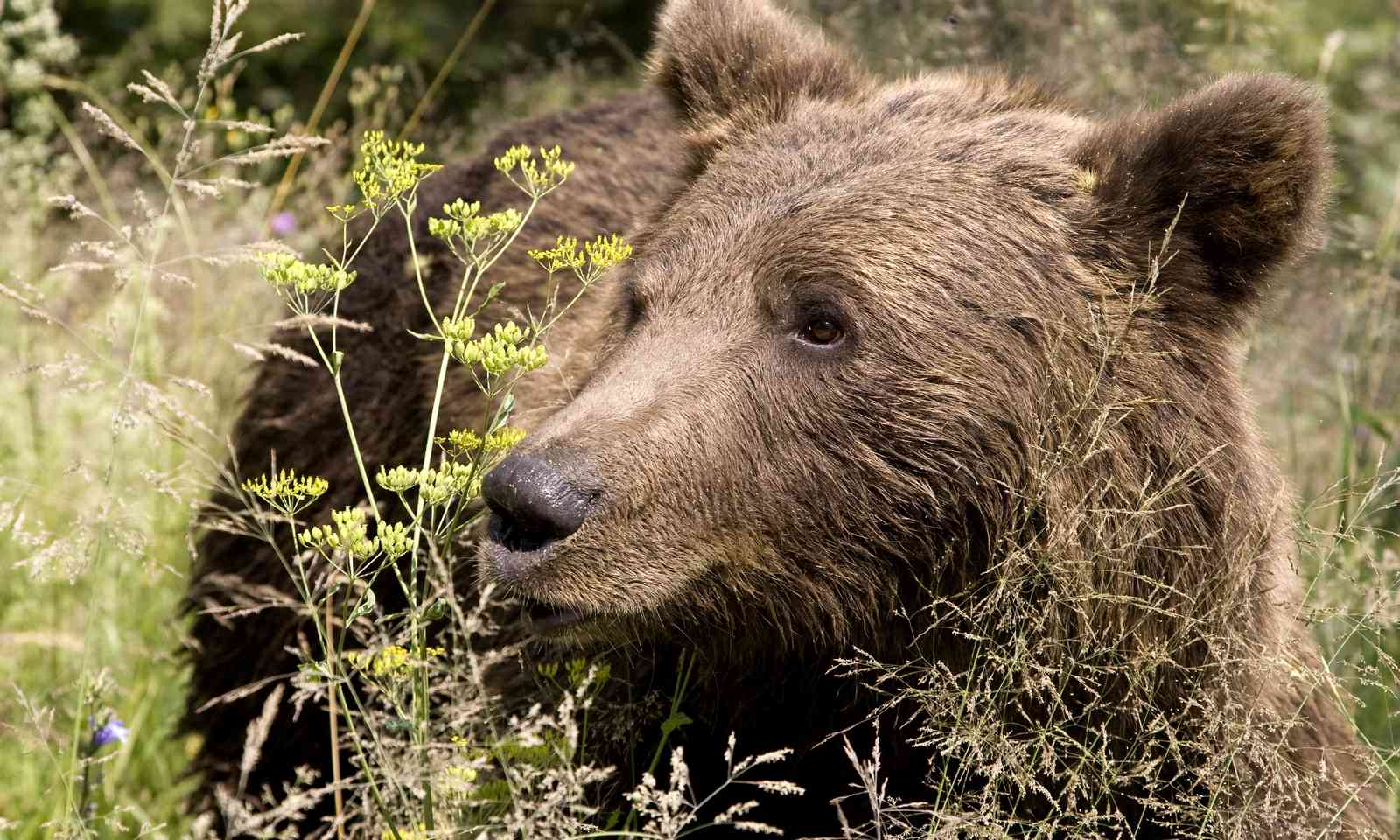 Wild bear in Romania (Dreamtime)