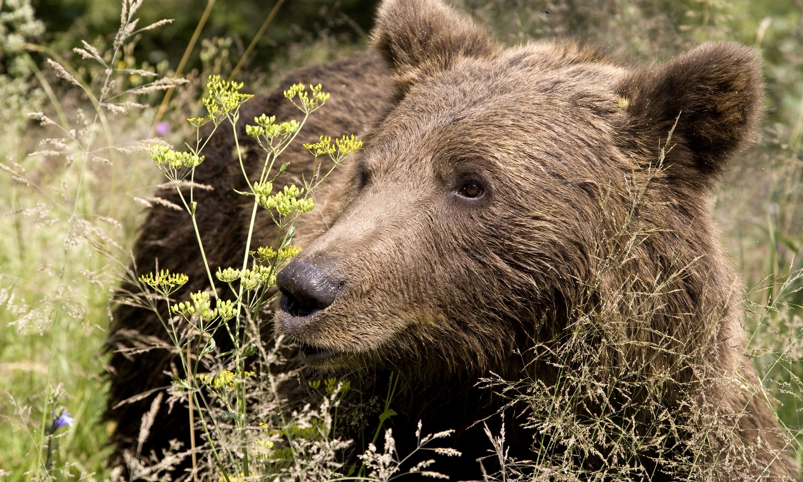 Wild bear in Romania (Dreamtime)