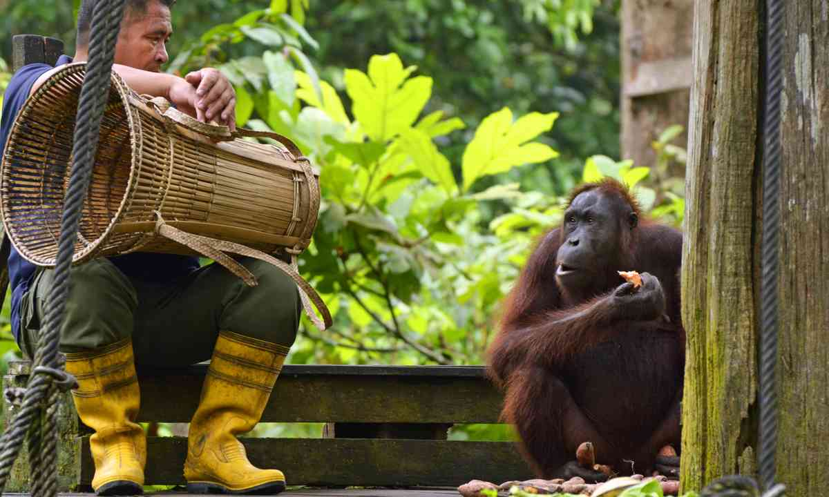 Worker sitting beside orangutan (Dreamstime)