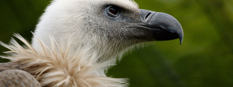 the griffon vultures of cres croatia wanderlust
