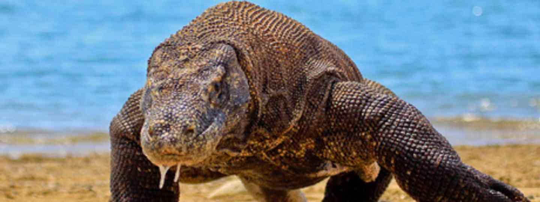 Komodo Dragon (Adhi Rachdian)