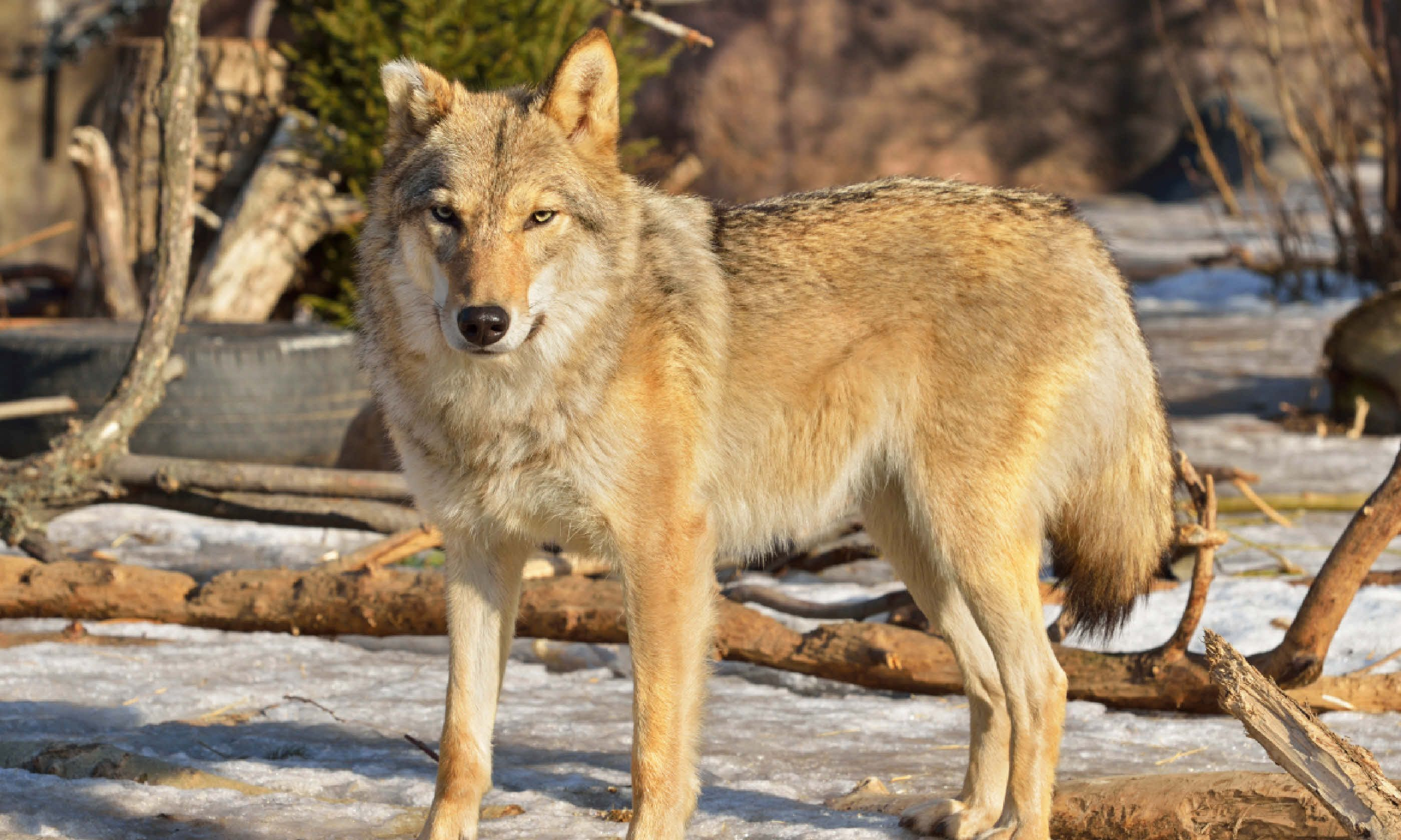 Wolf (Canis Lupus) (Shutterstock)